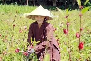 Cây Atiso đỏ đầu tiên trên đất Quảng Ngãi