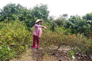 Tiền Giang: Nước tràn qua đê làm chết cây trái, dân kêu 'trời', chính quyền không hay biết
