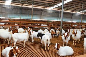 Phát triển chăn nuôi dê sữa thích ứng biến đổi khí hậu