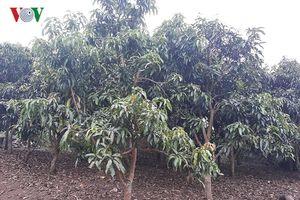 Người phụ nữ dân tộc Thái thu hàng trăm triệu đồng từ trồng cây ăn quả