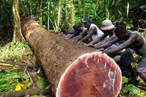 Bị công ty TQ 'càn quét', quốc gia 990 đảo có nguy cơ mất sạch rừng