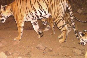 Hổ cái giết 13 người Ấn Độ 'đấu trí' lực lượng truy tìm hùng hậu