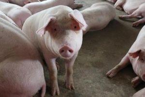 Giá heo hơi hôm nay 18/10: Giá lợn hơi đồng loạt giảm, lạ là lợn giống vẫn khan hiếm
