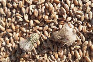 Nguy cơ 'sập' thị trường nông sản vì cỏ kế đồng