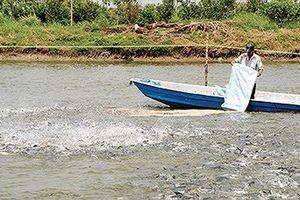 Cá tra giá cao, thiếu nguyên liệu chế biến