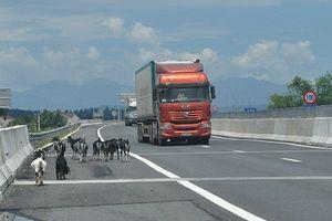 Vẫn khai thác tiếp cao tốc Đà Nẵng-Quảng Ngãi dù chưa xong hàng rào