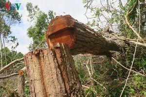 Bình Thuận: Rừng Tà Cú bị 'xẻ thịt' lấy đất trồng thanh long