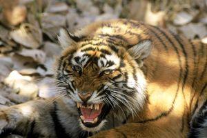 Ráo riết truy lùng hổ cái ranh mãnh, đoạt mạng 13 người