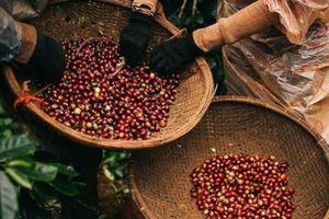 Giá nông sản hôm nay 19/10: Giá tiêu tăng 1.000 đồng, giá cà phê giảm nhẹ 100 đồng