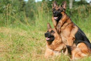 Nguồn gốc của giống chó Berger Đức