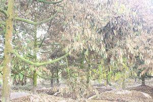 Sầu riêng chết khô vì triều cường, nhiều nhà vườn thiệt hại tiền tỷ