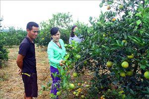 Cam rụng quả hàng loạt gây thiệt hại cho nông dân Nghệ An