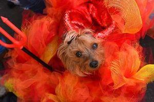Những chú chó hóa trang mùa Halloween không thể đáng yêu hơn