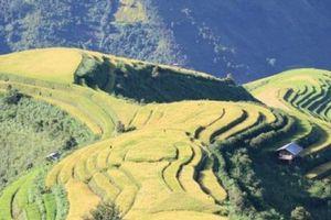 Vàng rực, kỳ vĩ những thửa ruộng bậc thang cao 2.000m ở Bắc Yên