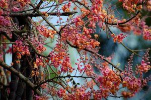 Khám phá bất ngờ cây ô môi quen thuộc với người miền Nam