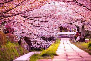 Thiên đường hoa anh đào đẹp 'ảo diệu' nằm trọn trong những trưởng ĐH nổi tiếng ở Trung và Hàn Quốc