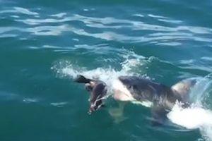 Hải cẩu con tẩu thoát hàm cá mập ngoạn mục