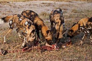 Chiêm ngưỡng chiến thuật săn mồi đỉnh cao của chó hoang châu Phi