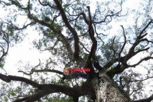 Vĩnh Long: Có hay không những chuyện kỳ bí xung quanh cây sao 700 tuổi?