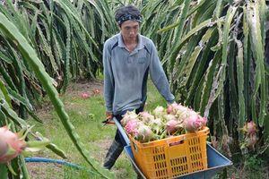 Trung Quốc mở rộng trồng thanh long, Việt Nam có thay đổi?