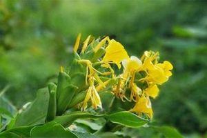 Hoạt chất trong cây ngải tiên góp phần hỗ trợ điều trị viêm đại tràng