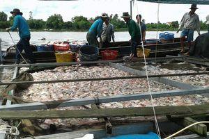 Hơn 160 tấn cá chết bất thường, chủ bè miền Tây 'khóc ròng' vì mất tiền tỉ