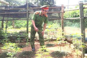Kẻ nghiện ma túy trồng cần sa trong vườn nhà