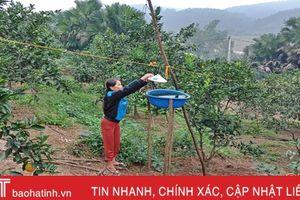 Cam Vũ Quang đã có thể ăn... cả vỏ!