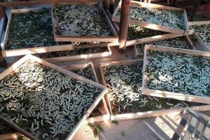 Lâm Đồng: Giá kén tăng cao, lợi nhuận gấp 3 lần nông sản khác
