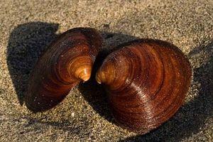 Sò biển sống thọ tới 400 năm, con người cũng phải thèm khát