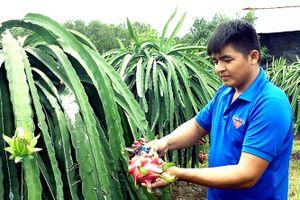 Cách trồng thanh long ruột đỏ an toàn