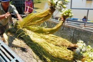 Rủ nhau sang tận Campuchia hái bông trắng, cọng dài, ăn ngon về bán