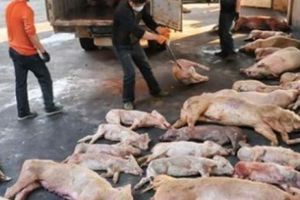 NÓNG: Trung Quốc phát hiện dịch tả lợn châu Phi 'sát vách' Lào Cai