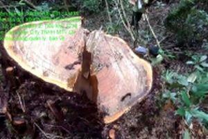 Điều tra, xử lý nghiêm vụ phá rừng pơ-mu ở Đác Lắc