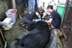 Cứu hộ thành công cá thể gấu thứ 200 tại Việt Nam