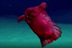 Loài sinh vật kỳ quái được mệnh danh 'gà biển không đầu'