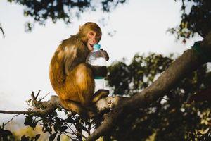 Người đàn ông 72 tuổi bị bầy khỉ ném gạch đến chết