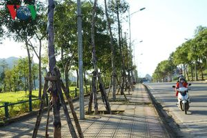 Lai Châu: Hết trồng lại nhổ, dân tiếc ngẩn ngơ dự án cây xanh tiền tỷ