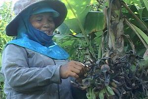 Quảng Trị: Nông dân đau đầu vì đàn khỉ xuống núi phá chuối