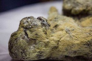 Xác sư tử con nguyên vẹn sau 30.000 năm vùi dưới băng