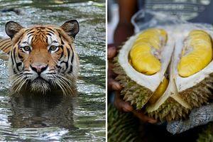 Hổ quý Malaysia lâm nguy vì Trung Quốc mê... sầu riêng