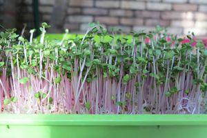 Hướng dẫn trồng rau mầm tại nhà vừa đơn giản lại cho năng suất cao