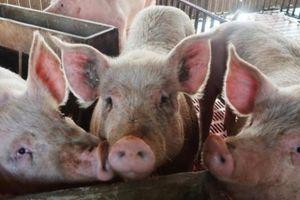 Giá heo hơi hôm nay 25/10: Đang từ 'đỉnh cao', giá lợn hơi giảm liên tục