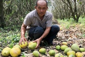 Dân trồng bưởi miền Tây 'ôm hận' vì triều cường