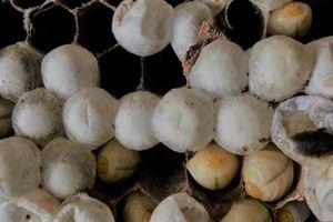 Đi săn loài ong 'tử thần' vùng sơn cước, kiếm nửa triệu/kg