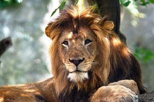Vì đâu sư tử cái cắn chết sư tử đực từng ân ái?
