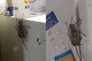 Ngó tủ lạnh, kinh hoàng thấy nhện khổng lồ săn giết chuột