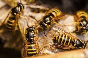 Cách nhận diện và xử lý khi bị ong vò vẽ đốt