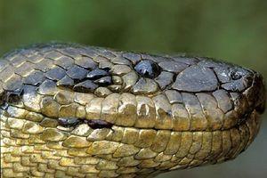 Trăn Anaconda, huyền thoại và sự thật