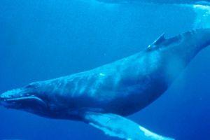 Tàu biển chạy làm tắt 'tiếng hát đại dương' của cá voi lưng gù